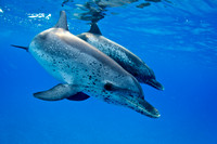 Atlantic Spotted Dolphin Pair
